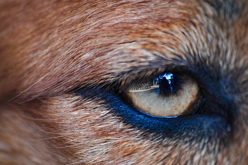 Eye, Dog, Pet, Animal, Reflection, Reflect, Fur