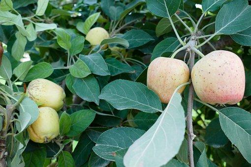 Apple Tree, Apple, Red Apple, Fruit, Ripe Apple, Nature