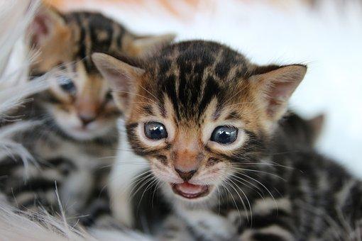 Bengal Kitten, Bengal Cat, Kitten, Bengal, Kitty, Pet