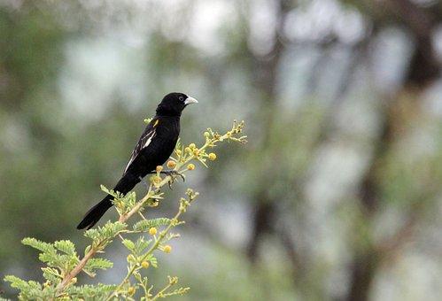Widow, Bird, Watching, Flap, Long, Tail, Nature, Black