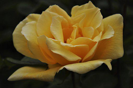 The Smell Of, Blooming Rose, Yellow, Blooming