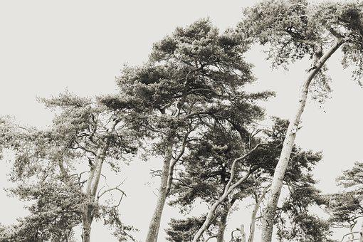 Pine, Cedars, Cedar, Conifer, Branch, Coniferales, Tree