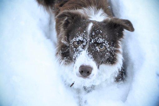 Border Collie, Dog, Collie, Brown, Chocolate, Winter