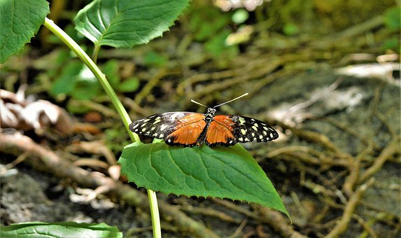 Butterfly, Colorful, Tropical, Exotic, Black, Orange