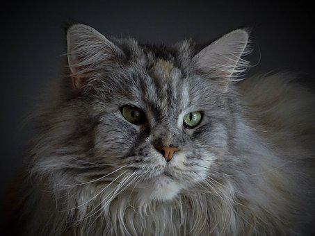 Cat, Maine Coon, Charming, Cat's Eyes, Cat Face