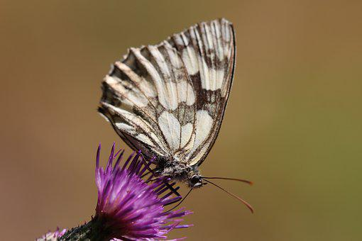 Chess Board, Butterfly, Nature, Insect, Summer