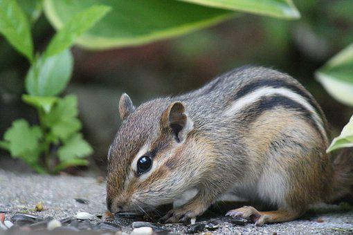 Chipmunk, Animal, Nature, Cute, Rodent, Mammal, Wild