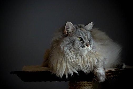Cat, Maine Coon, Cute, Animal Portrait, Longhair Cat