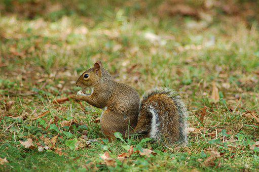 Squirrel, Rodent, Animal, Cute, Hairy, Wild, Mammal