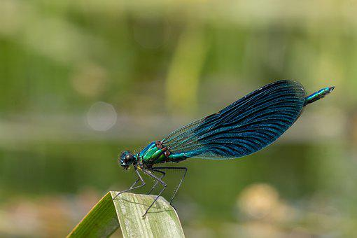 Banded Demoiselle, Calopteryx Splendens, Damselfly