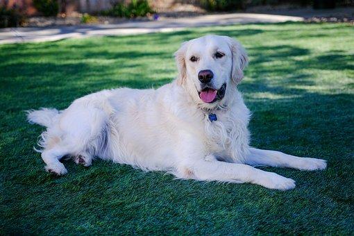 English, Cream, Golden, Retriever, Dog, Puppy
