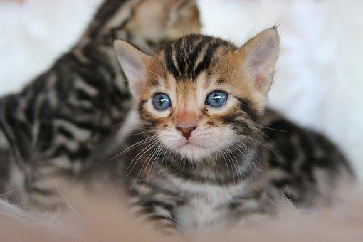 Bengal, Kitten, Cat, Kitty, Pet, Feline, Cute, Domestic