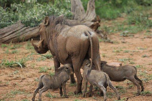 Warthog, Suckling, Young, Three, Drinking, Feeding