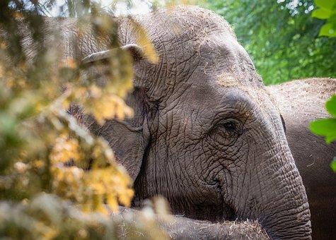 Elephant, Animal, Nature, Mammal, Safari, Wild, Zoo