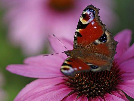European Peacock, Butterfly, Flower, Purple Coneflower