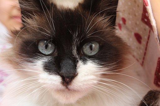 Feline, Animal, Kitten, Cat, Eyes, Animals, Malai