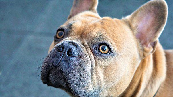 Face, Eyes, Nose, French Bulldog, Dog, Fur, Beige