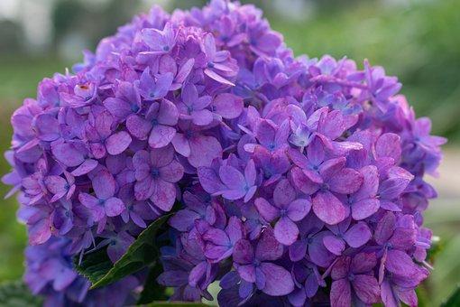 Hydrangea, Dogwood, Purple, Flower, Petal, Flowers