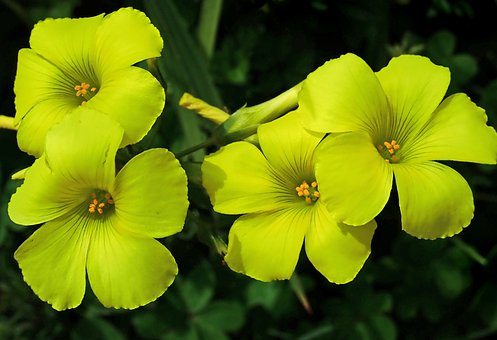 Flowers, Yellow, Weed, Oxalis, Sour Sob, Garden, Nature