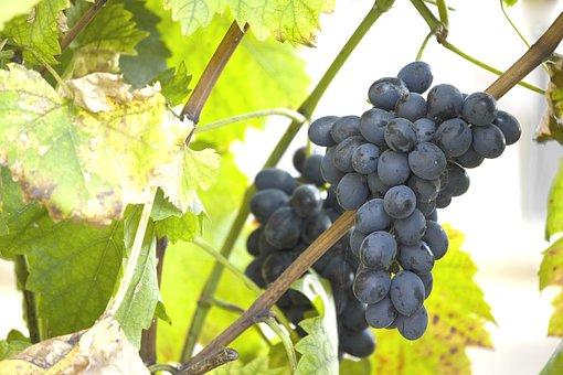 Food, Healthy, Ripe, Grape, Fruit, Sweet, Black, Fresh