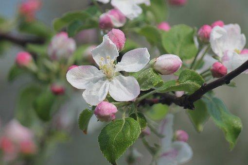 Apple Bloom, Flower, Bloom, Spring, White, Pink, Garden