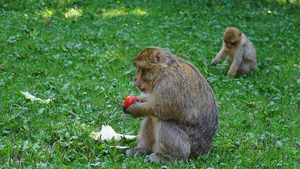 Berber Monkeys, Ape, Tomato, Salad, Green, Animal, Fur