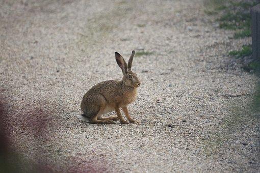 Hare, Ears, Nature, Long Eared, Mammal, Cute, Head