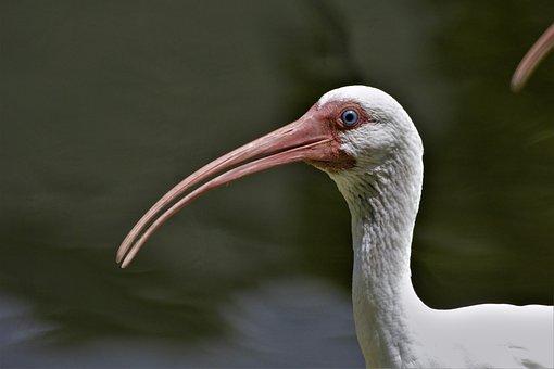 Bird, Ibis, White Ibis, Closeup, Head, Profile, Exotic