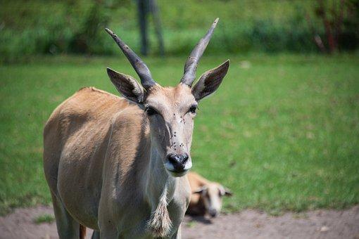 Ram, Goat, Antelope, Zoo, Horn