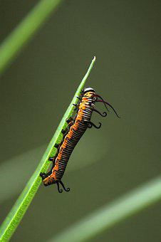 Kerala, India, Common Crow, Butterfly, Larvae