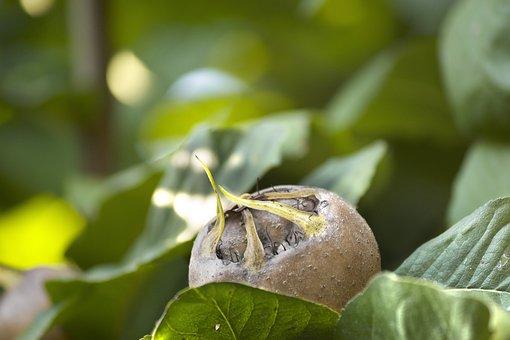 Fruit, Medlar, Ripe, Food, Natural, Green, Fresh, Leaf