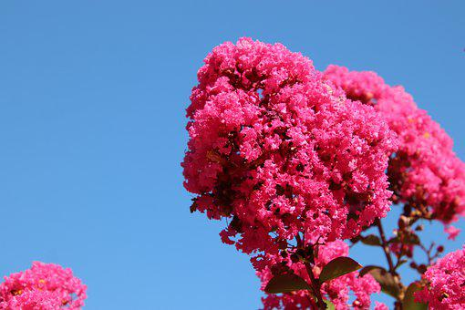 Lagerstroemia Indica, Lilac Summer, Trees, Exotic