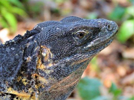 Iguana, Lizard, Dragon, Reptile, Nature, Wildlife