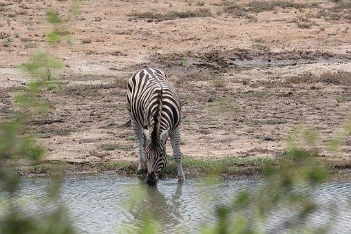 Zebra, Drinking, Nature, South, Africa, Game, Safari