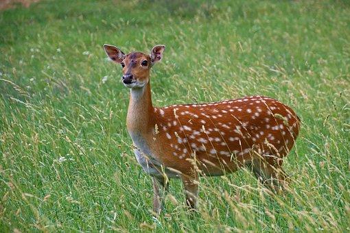 Fallow Deer, Female, Animal, Mammal, Grass, Nature
