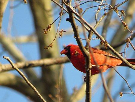 Birds, Red Cardinals, Sky, Nature, Wildlife, Feathers