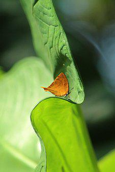 Kerala, India, Yamfly, Butterfly, Orange, Leaf, Bright