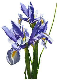 Flowers, Blue, Iris, Dutch, Stems, Bulb, Plant, Cut Out