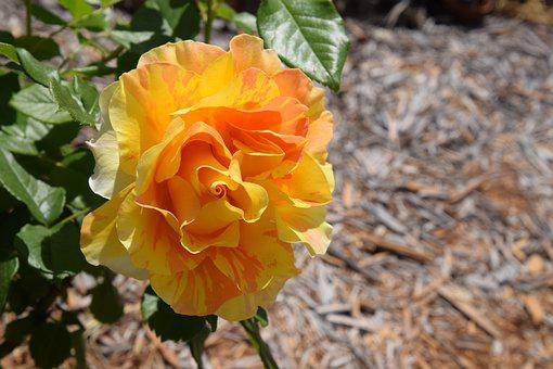 Rose, Bright Color, Romantic, Love, Golden Tiger Rose