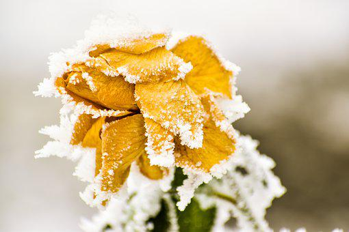 Rose, Frozen, Winter, Nature, Cold, Ice, Flower