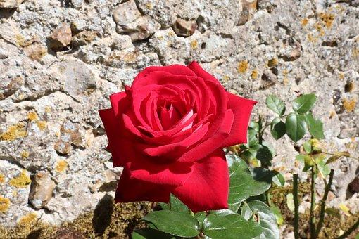 Pink, Roses, Flowering Shrubs, Plants, Red Color