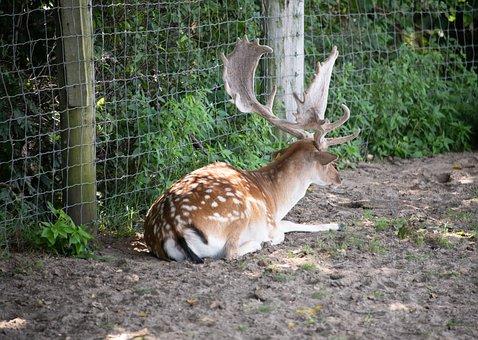 Fallow Deer, Deer, Antler, Horn, Spotted, Zoo