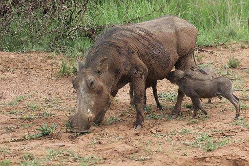 Warthog, Suckling, Young, Drinking, Feeding, Mother