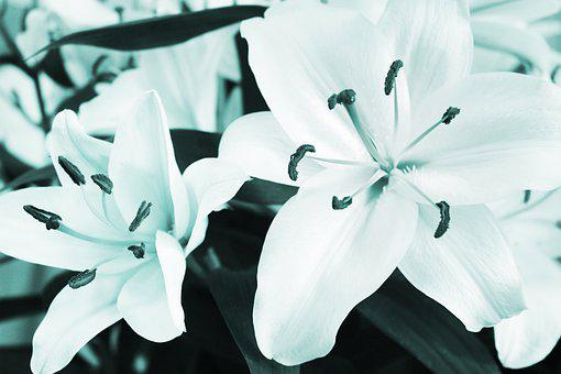 Lily, White, Flowers, Floral, Flora, Bloom, Garden