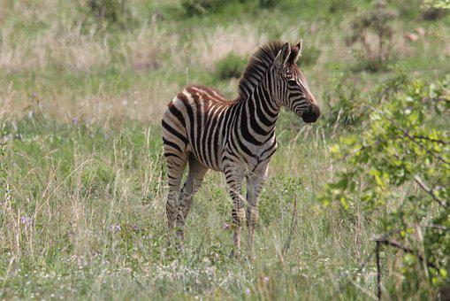 Zebra, Young, Filly, Camouflage, Game, Wild