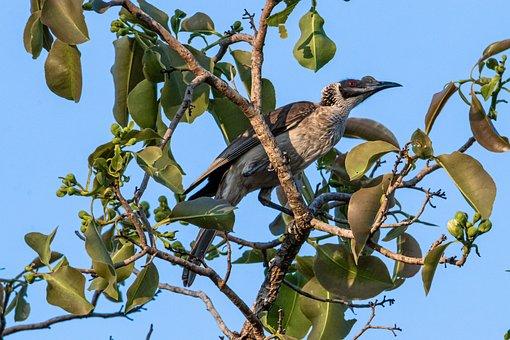 Raptor, Wildlife, Birds, Branch, Noisy Friarbird