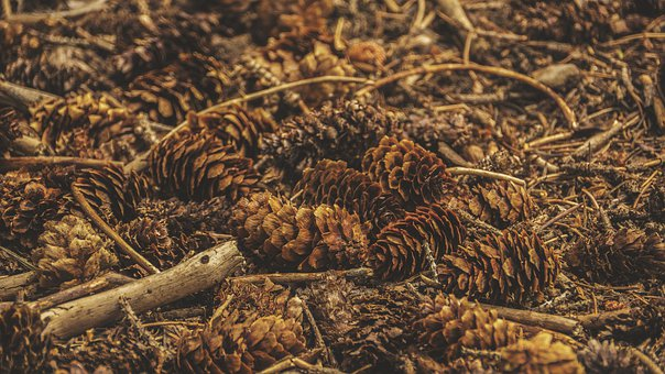 Earth, Forest, Pinecones, Pine, Stick, Wood, Woods