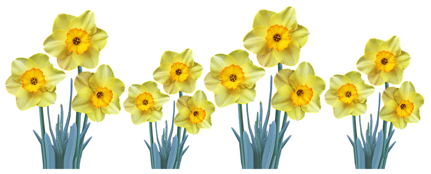 Flowers, Yellow, Daffodils, Leaves, Bulbs, Cut Out