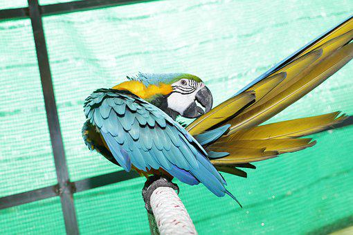 Fur-care Parrots, Yellow-green Parrots, Rare Parrots