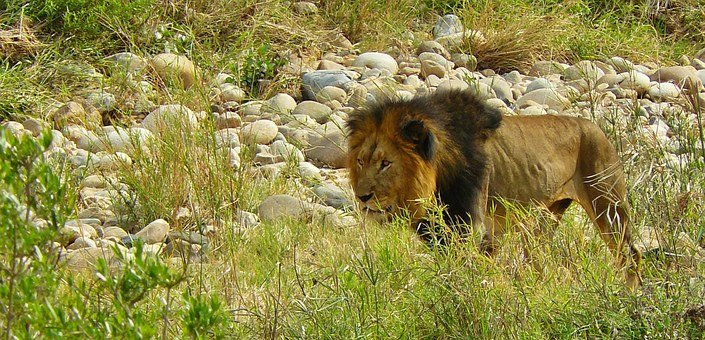 Lion, Predator, Animal World, Africa, Safari